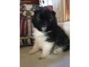View Ad Pomeranian Puppy For Sale Virginia Lynchburg Usa