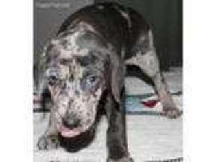 Puppyfinder com: Catahoula Leopard Dog puppies puppies for