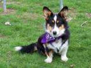 View Ad Cardigan Welsh Corgi Puppy For Sale Pennsylvania