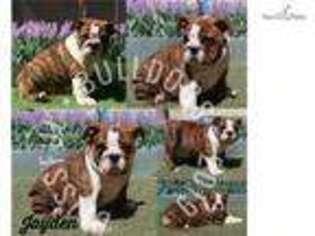 Bulldog Puppy for sale in Las Vegas, NV, USA