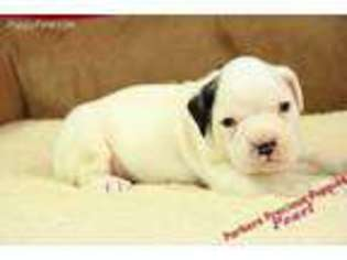 Puppyfindercom Boxer Puppies For Sale Near Me In Hickory North
