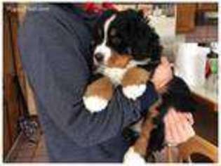 View Ad Bernese Mountain Dog Puppy For Sale Near