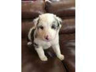 Australian Shepherd Puppy for sale in Warsaw, NC, USA