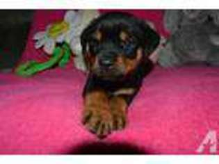 View Ad Rottweiler Puppy For Sale Oregon Eagle Point Usa