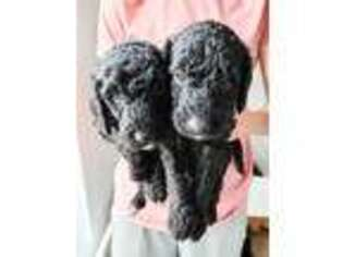Labradoodle Puppy for sale in Wagener, SC, USA