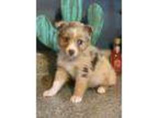 Australian Shepherd Puppy for sale in Howardsville, VA, USA