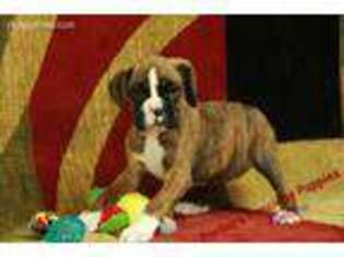 Puppyfinder com: Boxer puppies puppies for sale near me in