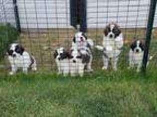 View Ad Saint Bernard Puppy For Sale Near Iowa Blue Grass Usa