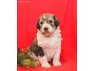 Mutt Puppy for sale in Millersburg, PA, USA