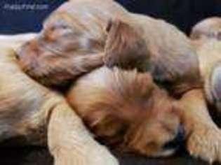 View Ad Irish Setter Puppy For Sale Near Illinois