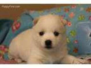 Alaskan Klee Kai Puppy for sale in Denison, IA, USA