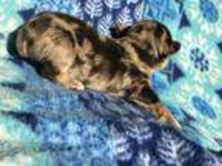 Yorkshire Terrier Puppy for sale in Pilot Rock, OR, USA