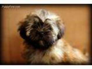 Puppyfinder com: Shih-Poo puppies puppies for sale near me
