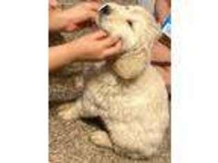 Golden Retriever Puppy for sale in Artesia, NM, USA