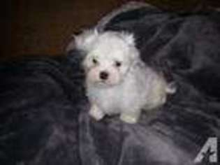 Maltese Puppy for sale in REDLANDS, CA, USA