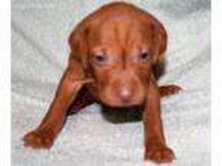 Vizsla Puppy For Sale near Gillsville, GA, USA