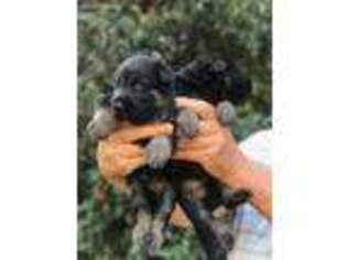 German Shepherd Dog Puppy for sale in Burlington, NC, USA