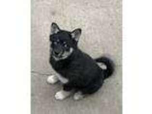 Alaskan Klee Kai Puppy for sale in Lincoln, NE, USA