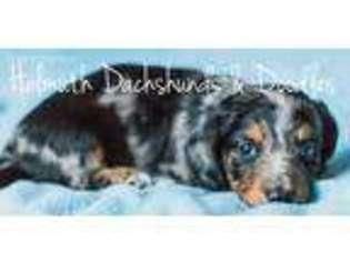 View Ad: Dachshund Puppy for Sale, Iowa, Cambridge, USA