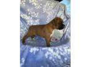 Boxer Puppy for sale in Elkhart, IN, USA