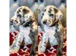 Mastiff Puppy for sale in Hesperia, CA, USA