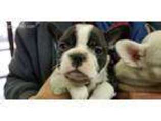 View Ad French Bulldog Puppy For Sale Massachusetts East