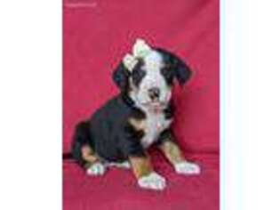 Greater Swiss Mountain Dog Puppy for sale in Lancaster, PA, USA