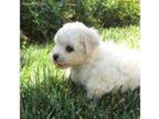 View Ad: Bichon Frise Puppy for Sale, California, Tehachapi, USA