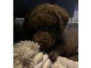 Chesapeake Bay Retriever Puppy for sale in Unknown, , USA