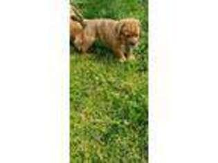 American Bull Dogue De Bordeaux Puppy for sale in Winston Salem, NC, USA