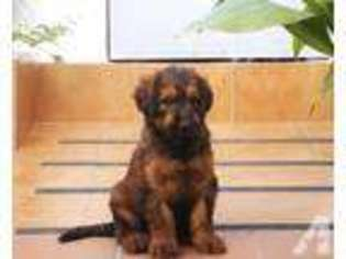 View Ad Briard Puppy For Sale Near Texas Houston Usa Adn 04670461842
