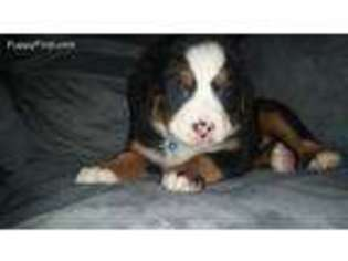 View Ad Bernese Mountain Dog Puppy For Sale Pennsylvania Pittston