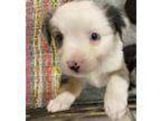Australian Shepherd Puppy for sale in Creston, IA, USA