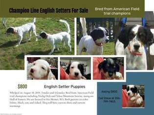 English Setter Puppy for sale in Des Moines, WA, USA