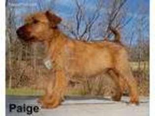 View Ad Irish Terrier Puppy For Sale Near Missouri Ava Usa Adn