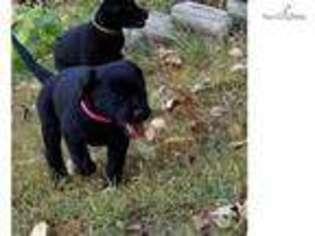 Puppyfinder com: Labrador Retriever puppies puppies for sale