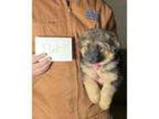 German Shepherd Dog Puppy for sale in Shelbyville, KY, USA