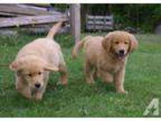 View Ad Golden Retriever Puppy For Sale New Hampshire Center