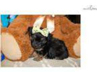 Chorkie Puppy For Sale in Mobile, AL, USA