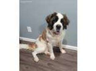 Saint Bernard Puppy for sale in Lewisburg, KY, USA