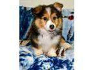 View Ad Pembroke Welsh Corgi Puppy For Sale Indiana Indianapolis Usa