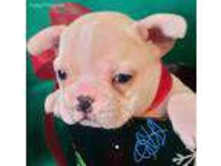 French Bulldog Puppy for sale in Englewood, TN, USA