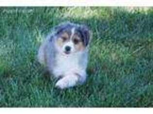 Australian Shepherd Puppy for sale in Martinsville, IN, USA