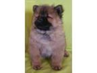 View Ad: Chow Chow Puppy for Sale, Montana, Great Falls, USA