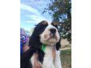 View Ad: English Springer Spaniel Puppy for Sale near Idaho