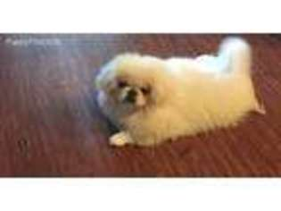 Puppyfinder com: Pekingese puppies puppies for sale near me