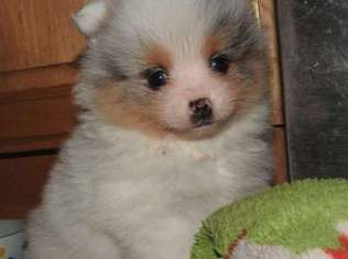 pomeranian puppies for sale seattle view ad pomeranian puppy for sale washington seattle usa 5159