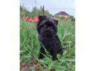 Affenpinscher Puppy for sale in Hamburg, NJ, USA