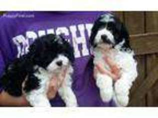 View Ad: Cavapoo Puppy for Sale, Alabama, Grant, USA