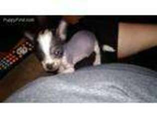 American Hairless Terrier Puppy for sale in Kearny, AZ, USA